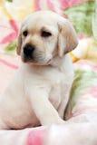 Perrito amarillo de Labrador Fotos de archivo