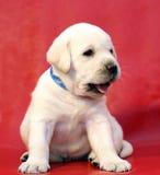 Perrito amarillo de Labrador Fotos de archivo libres de regalías