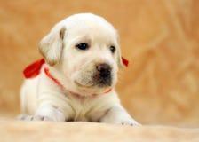 Perrito amarillo de Labrador Imágenes de archivo libres de regalías
