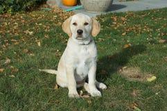 Perrito amarillo de Labrador Fotografía de archivo