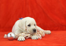 Perrito amarillo de Labrador con los juguetes de la Navidad Foto de archivo libre de regalías