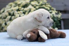 Perrito amarillo de Labrador con un juguete Imagen de archivo libre de regalías
