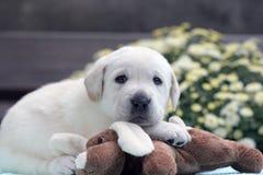 Perrito amarillo de Labrador con un juguete Imágenes de archivo libres de regalías