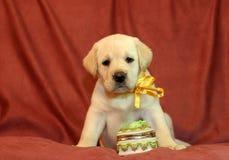 Perrito amarillo de Labrador en cinta amarilla Imagen de archivo libre de regalías