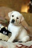 Perrito amarillo de Labrador en el país Foto de archivo libre de regalías
