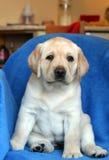 Perrito amarillo de Labrador en el sofá Foto de archivo