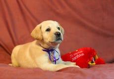 Perrito amarillo de Labrador en la cinta violeta Imagenes de archivo