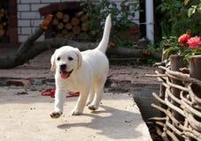 Perrito amarillo de Labrador en la yarda Fotografía de archivo