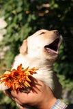 Perrito amarillo de Labrador en las manos Fotos de archivo libres de regalías