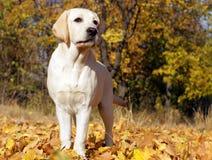 Perrito amarillo de Labrador en otoño Foto de archivo