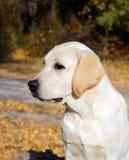 Perrito amarillo de Labrador en parque del otoño Imágenes de archivo libres de regalías