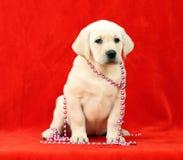 Perrito amarillo encantador de Labrador Foto de archivo