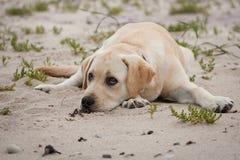 Perrito amarillo lindo de Labrador Imagenes de archivo