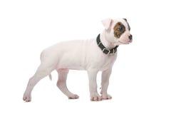 Perrito americano del dogo Fotografía de archivo