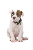 Perrito americano del dogo Imagenes de archivo