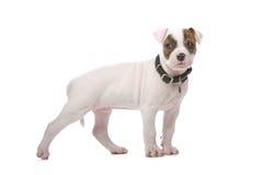Perrito americano del dogo Fotos de archivo libres de regalías