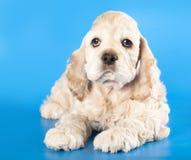 Perrito americano del perro de aguas de cocker Fotografía de archivo