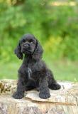 Perrito americano del perro de aguas de cocker Imagen de archivo libre de regalías