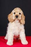 Perrito americano del perro de aguas de cocker Imagenes de archivo