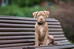 Perrito americano del terrier de pitbull que presenta en un banco fotos de archivo libres de regalías