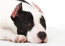Perrito americano del terrier del pitbull Fotografía de archivo libre de regalías