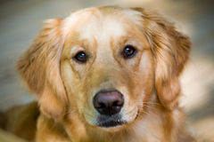 Perrito antiguo del perro perdiguero Fotografía de archivo