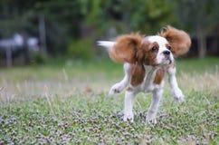 Perrito arrogante corriente del perro de aguas de rey Charles del frente fotos de archivo libres de regalías