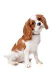 Perrito arrogante del perro de aguas de rey Charles Foto de archivo