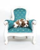 Perrito arrogante del perro de aguas de rey Charles Fotos de archivo