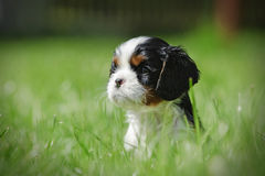 Perrito arrogante del perro de aguas de rey Charles Imagenes de archivo