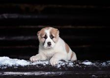 Perrito asiático central asombroso del pastor imagen de archivo libre de regalías