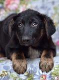 Perrito asustado del chucho Foto de archivo libre de regalías