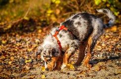 Perrito australiano del pastor en el río Rhine Foto de archivo libre de regalías