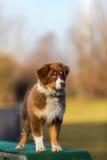 Perrito australiano del pastor en una herramienta de la agilidad Fotos de archivo