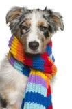 Perrito australiano del pastor que desgasta una bufanda fotos de archivo