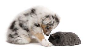Perrito australiano del pastor que juega con el conejillo de Indias imagenes de archivo