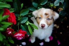 Perrito australiano del pastor que se sienta en las rosas fotos de archivo