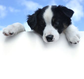 Perrito australiano del pastor sobre una muestra en blanco Foto de archivo libre de regalías