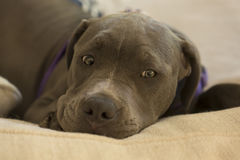 Perrito azul de Pit Bull de la nariz Imagen de archivo