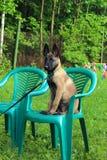 Perrito belga del pastor Imagen de archivo libre de regalías