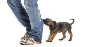Perrito belga del pastor que muerde y que tira de la pierna Imagen de archivo libre de regalías