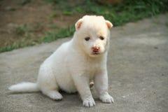 Perrito blanco Foto de archivo