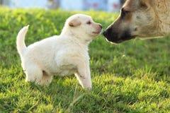 Perrito blanco con su madre Foto de archivo libre de regalías