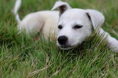 Perrito blanco de Batanes Foto de archivo libre de regalías