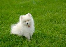 Perrito blanco de Pomeranian en césped con el sitio para el texto Imagenes de archivo