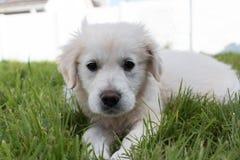 perrito blanco del golden retriever que se acuesta Fotos de archivo