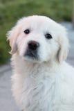 Perrito blanco del golden retriever que se sienta Imagen de archivo