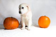 Perrito blanco del golden retriever que se sienta al lado de las calabazas Fotografía de archivo