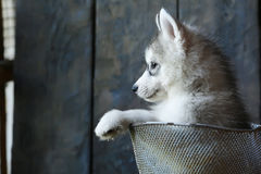 Perrito blanco del Malamute que se sienta en una cesta Foto de archivo