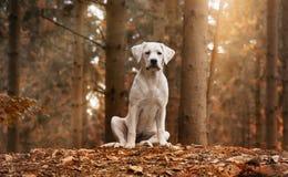 Perrito blanco del perro de Labrador que se sienta en bosque con colores del otoño Imagenes de archivo